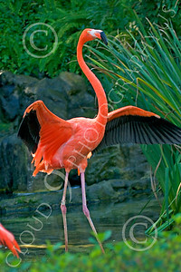 Flamingo 00009 Standing flamingo spreads its wings, by Peter J Mancus