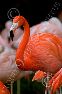 Flamingo 00011 Standing flamingo, by Peter J Mancus