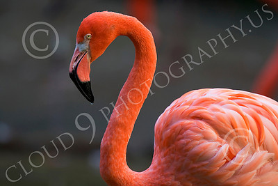 Flamingo 00018 Standing flamingo, by Peter J Mancus
