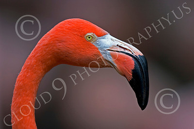 Flamingo 00014 Close up portrait of a flamingo, by Peter J Mancus