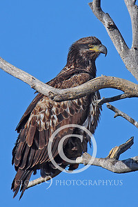AN-Golden Eagle 00003 Mature golden eagle by Peter J Mancus