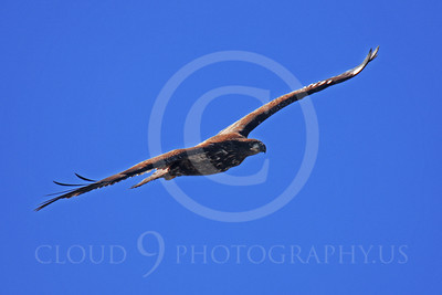 AN-Golden Eagles 00002 A mature golden eagle soars, by Peter J