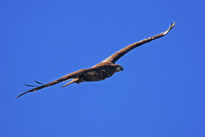 AN-Golden Eagles 00002 Soaring mature golden eagle by Peter J Mancus