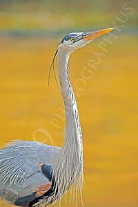 Great Blue Heron 00001 by Peter J Mancus