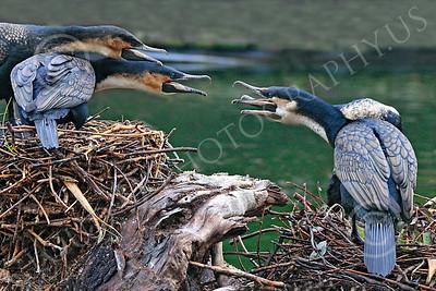 Great Cormorant 00010 Squabbling great cormorants, by Carol Ann Dentz