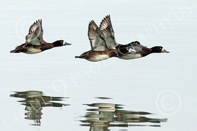 Greater Scaup 00007 Four Greater Scaup ducks fly in formation low over San Francisco Bay, wild bird photograph by Peter J Mancus