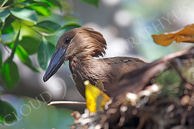 Hamerkop 00007 by Peter J Mancus