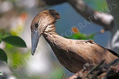Hamerkop 00004 by Peter J Mancus