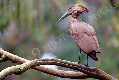 Hamerkop 00008 by Peter J Mancus