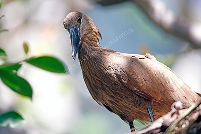 Hamerkop 00006 by Peter J Mancus