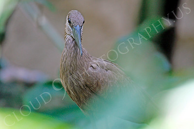 Hamerkop 00009 by Peter J Mancus