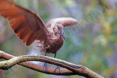 Hamerkop 00002 by Peter J Mancus