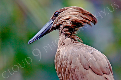 Hamerkop 00012 by Peter J Mancus