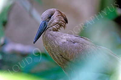 Hamerkop 00005 by Peter J Mancus