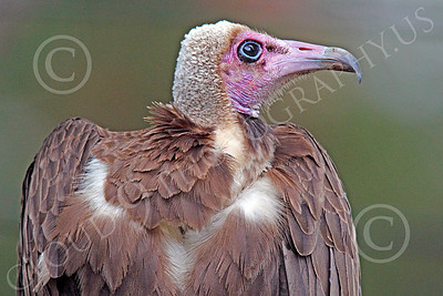 Hooded Vulture 00002 Close up portrait of a hooded vulture, by Peter J Mancus