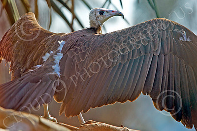 Hooded Vulture 00006 A hooded vulture spreads its wings, by Peter J Mancus