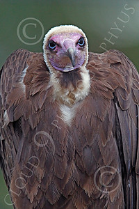 Hooded Vulture 00007 A hooded vulture, by Peter J Mancus