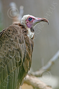 Hooded Vulture 00003 A hooded vulture stands on a  branch, by Peter J Mancus