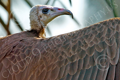 Hooded Vulture 00050 A hooded vulture spreads its wings, by Peter J Mancus