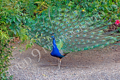 Indian Peafowl 00008 by Peter J Mancus