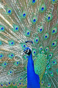 Indian Peafowl 00025 by Peter J Mancus