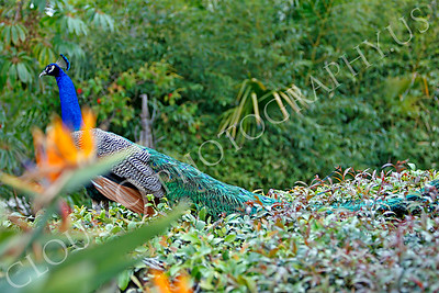 Indian Peafowl 00022 by Peter J Mancus