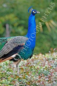 Indian Peafowl 00009 by Peter J Mancus