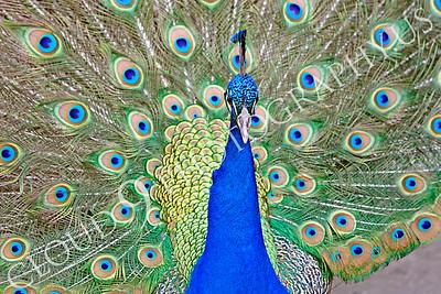 Indian Peafowl 00018 by Peter J Mancus