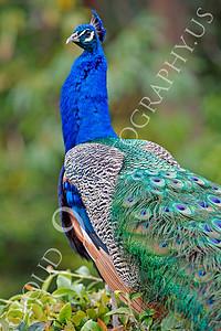 Indian Peafowl 00021 by Peter J Mancus