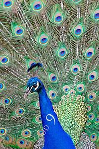 Indian Peafowl 00013 by Peter J Mancus