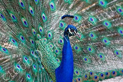 Indian Peafowl 00026 by Peter J Mancus
