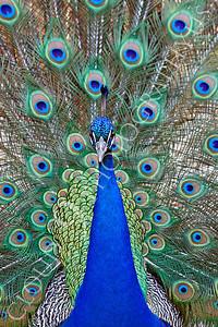 Indian Peafowl 00027 by Peter J Mancus
