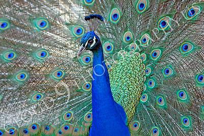 Indian Peafowl 00028 by Peter J Mancus
