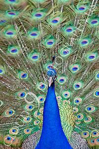 Indian Peafowl 00001 by Peter J Mancus