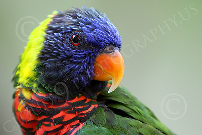 Lorikeet 00046 A tight crop head portrait of a good looking lorikeet strikes a classic pose, by Peter J Mancus
