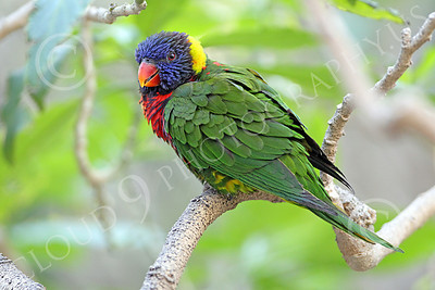 Lorikeet 00048 A lorikeet in a tree, by Peter J Mancus