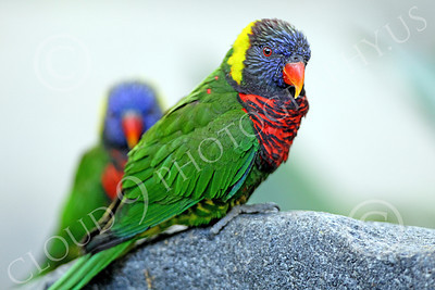 Lorikeet 00058 Two lorikeets, by Peter J Mancus