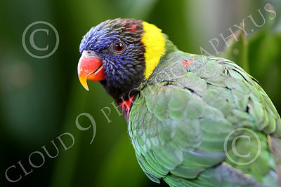 Lorikeet 00024 A lorikeet looks to its left, by Peter J Mancus