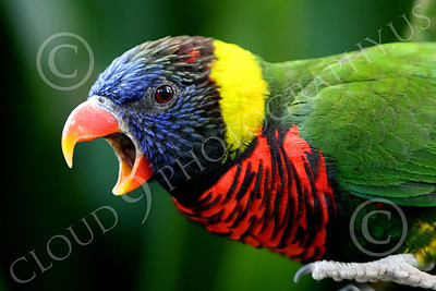 Lorikeet 00010 A lorikeet with an open beak, by Peter J Mancus