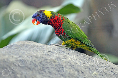 Lorikeet 00054 A lorikeet with an open beak stretches its neck, by Peter J Mancus