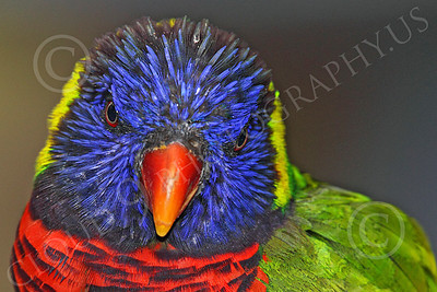 Lorikeet 00042 A lorikeet up close, by Peter J Mancus