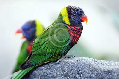 Lorikeet 00013 Two lorikeets, one on a rock, by Peter J Mancus