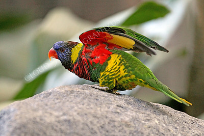 Lorikeet 0001 A lorikeet on a rock spreads its wings, by Peter J Mancus