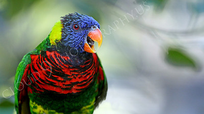 Lorikeet 00052 A lorikeet with an open beak, by Peter J Mancus