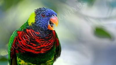Lorikeet 00052 A lorikeet with an open beak, by Peter J Mancus