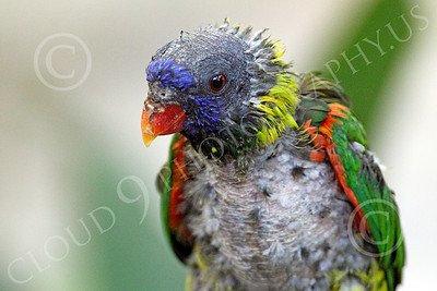 Lorikeet 00027 A sickly looking lorikeet, by Peter J Mancus