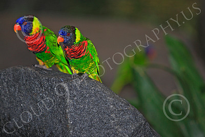 Lorikeet 00018 Two lorikeets sit on a rock, by Peter J Mancus