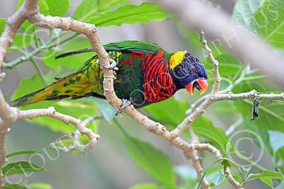 Lorikeet 00016 A lorikeet in a tree with an open beak, by Peter J Mancus