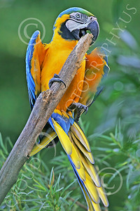 Blue-and-Yellow Macaw 00017 A beautiful blue-and-yellow macaw clings to its perch by Peter J Mancus