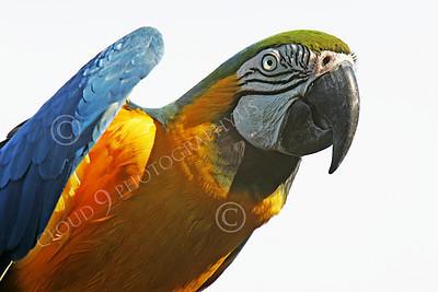 Blue-and-Yellow Macaw 00002 A blue-and-yellow macaw by Peter J Mancus